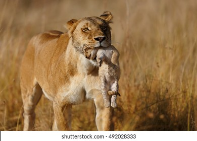 Lion mother carrying her baby in a new hiding place in Masai Mara, Kenya