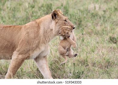 Lion Mother Carrying her Cub, Masai Mara, Kenya