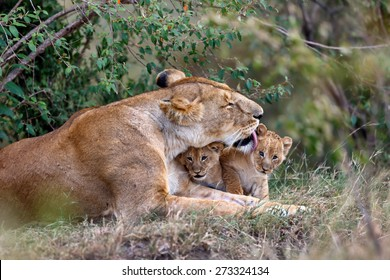 Lion mother cleans her babies in Masai Mara, Kenya
