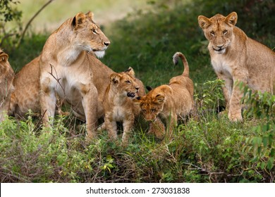 Lion mother with her cubs in Masai Mara, Kenya
