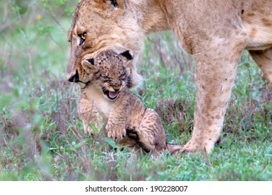 Lion mother wants her baby carry to another place, but the baby does not like that and is very annoying. Lake Nakuru National Park, Kenya