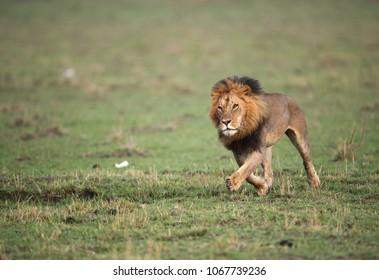 Lion moving fast in Savannah, Masai Mara