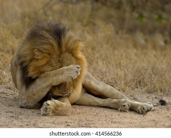 Lion - No more photos (Panthera leo)