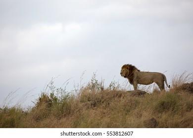 Lion on a hillock, Masai Mara