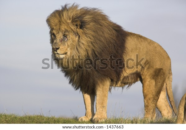 Lion on the lookout