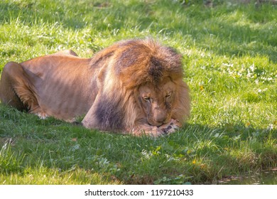 Lion on a meadow gnawing on a bone