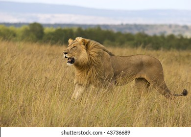 Lion on plains