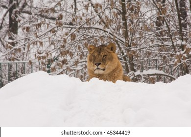 a lion on snow in winter