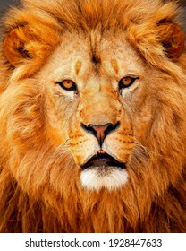Lion is one of the experts on the Panthera genus, which is a type of big cat in the Felida family