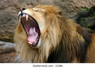 Lion opening wide
