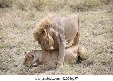 Lion over Lioness