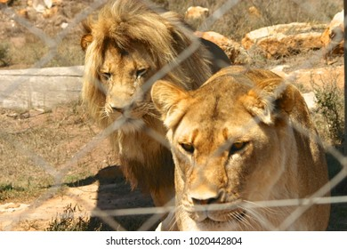 Lion Pair lion and lioness fenced