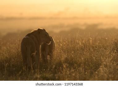 Lion pair in the morning light, Masai Mara