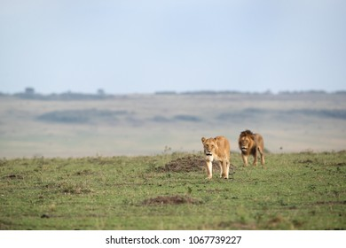 Lion pair moving in the grassland of Masai Mara