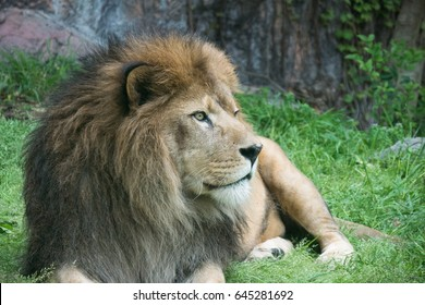 Lion / Panthera leo