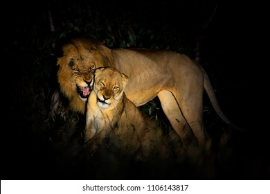 Lion, Panthera leo bleyenberghi, mating action scene in Kruger National Park, Africa. Animal behavior in the nature habitat, male and female in dark night.