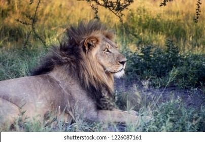 Lion (Panthera leo), Central Kalahari Game Reserve, Ghanzi, Botswana, Africa
