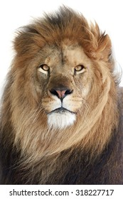 Lion (Panthera leo) Closeup portrait