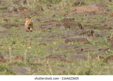 Lion (Panthera leo) - Cub Running to Mum
