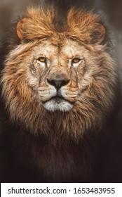 Lion (Panthera leo) The lion's detail portrait on the black background
