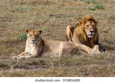 Lion (Panthera leo) love couple spending several days together on the plains of the Masai Mara National Reserve in Kenya