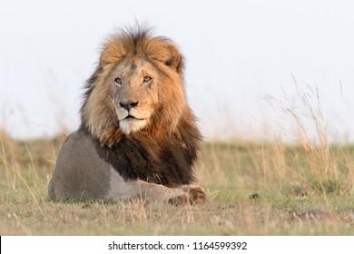Lion (Panthera leo) - Majestic Male