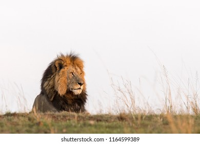 Lion (Panthera leo) - Male in Golden Light