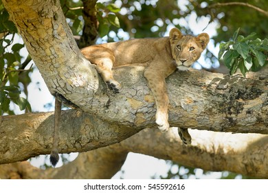 Lion (Panthera leo) - Nap Interrupted