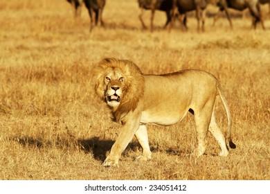 A lion (Panthera leo) on the Maasai Mara National Reserve safari in southwestern Kenya.
