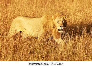 A lion (Panthera leo) on the Masai Mara National Reserve safari in southwestern Kenya.