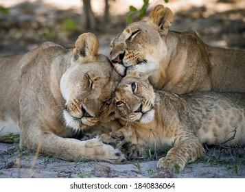 Lion (Panthera leo) in the Ongava Delta , Botswana.