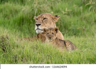 Lion (Panthera leo) - Proud Mother with Cub
