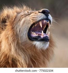 A lion (Panthera leo) in the Savuti region of Botswana.