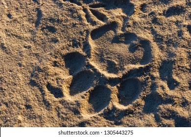 Lion (panthera leo) spoor. Botswana