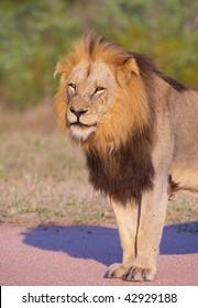 Lion (panthera leo) walking in savannah in South Africa