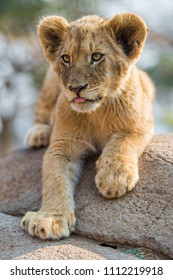 lion in the park, Africa