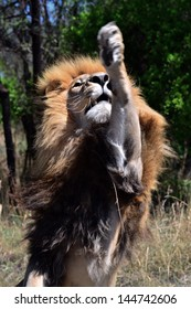 Lion with paw in air