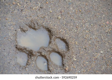 paw prints lion stock photos images photography shutterstock