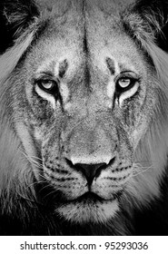 500 Lion Black And White Pictures Royalty Free Images Stock