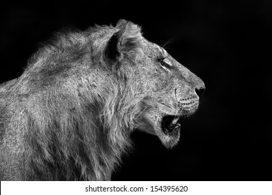 Lion portrait in black and white, he is one of the Rekero Pride in Masai Mara