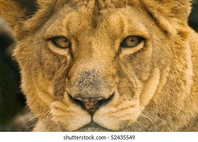 Lion portrait, closeup
