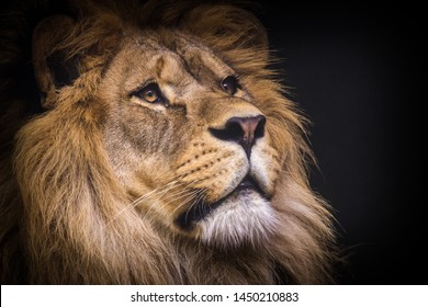lion portrait isolated on black