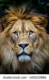 lion portrait isolated on black