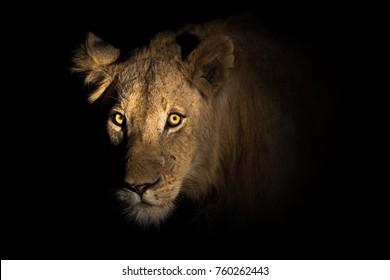 Lion portrait, Kruger National Park, South Africa