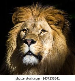 lion portrait in the zoo park