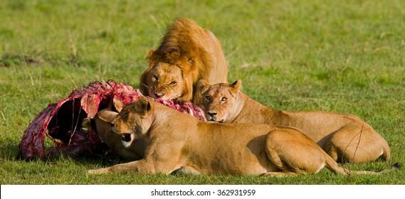 Lion Pride eating prey. National Park. Kenya. Tanzania. Masai Mara. Serengeti. An excellent illustration.