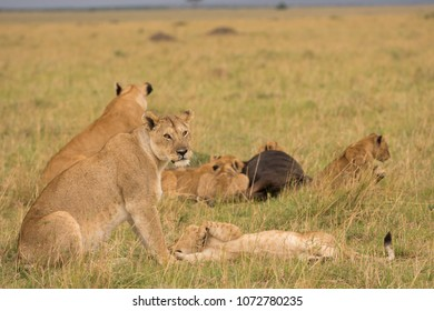 Lion pride at a kill in late evening in Masai Mara Game Reserve, Kenya