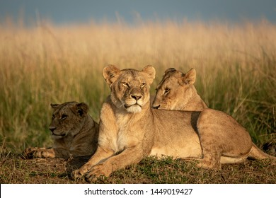 Lion pride resting and looking to Hunt, Kenya