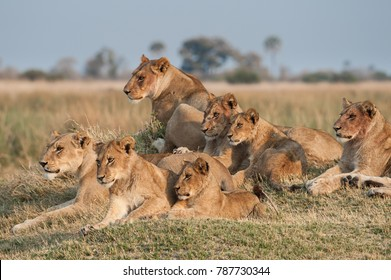 Lion pride resting on a termite hill in beautiful morning sunlight. Botswana.