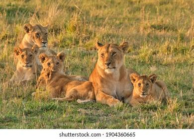 Lion pride resting at sunrise